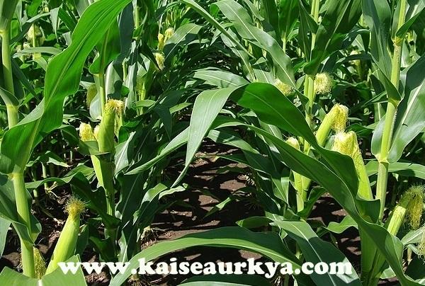 Makka (Baby Corn) Ki Kheti Kaise Kare