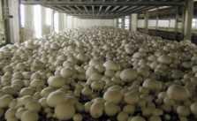 Button Mushroom (Agaricus Bisporus) Ki Kheti Kaise Kare