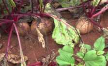 Chukandar (Beetroot) Ki Kheti Kaise Kare