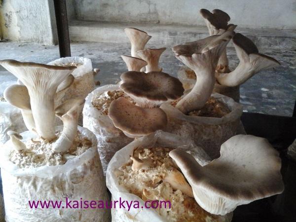 Dhingri Mushroom Ki Kheti Kaise Kare