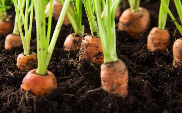 Gajar (Carrot) Ki Kheti Kaise Kare