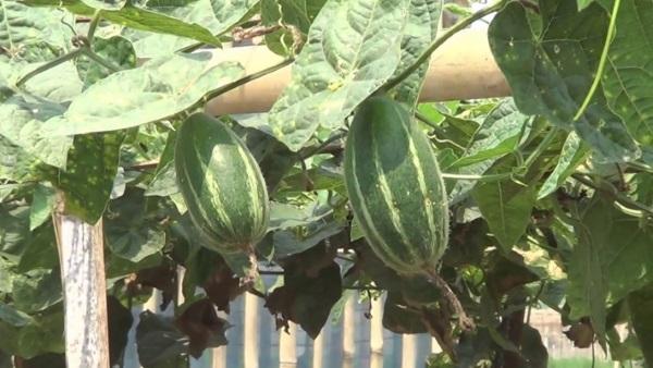 Parwal (Pointed Gourd) Ki Kheti kaise karen