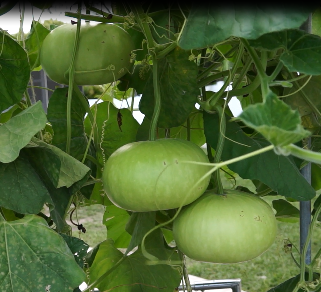Tinda (Round Gourd) Ki Kheti Kaise Kare