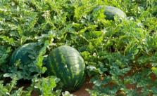 Tarbooj (Watermelon) Ki Kheti Kaise Kare