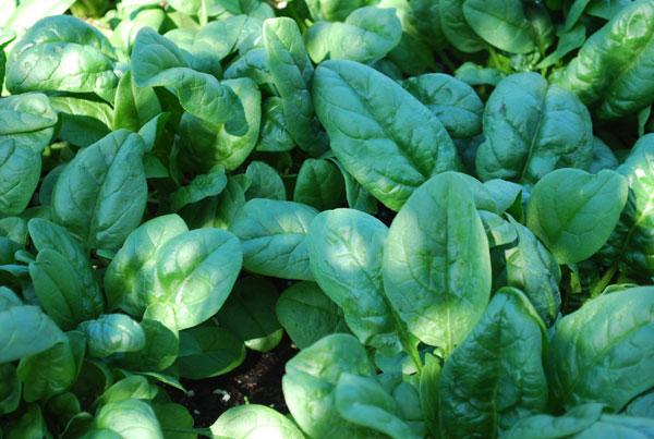 Vilayati Palak (Spinach) Ki Kheti Kaise Kare