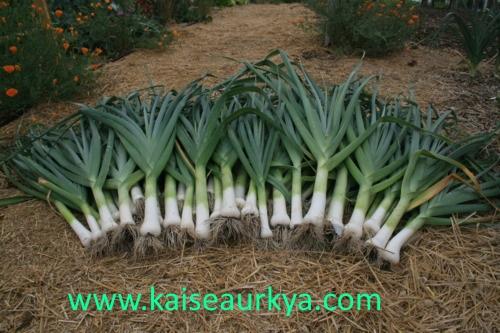 Hare Pyaj (Green Onion or Leek) Ki Kheti Kaise Kare