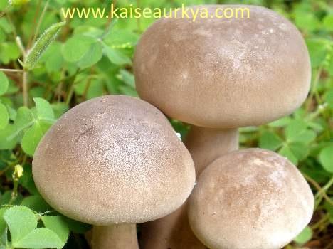 Mushroom Ki Kheti Kaise Kare
