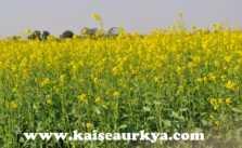 Sarso (Mustard) Ki Kheti Kaise Kare