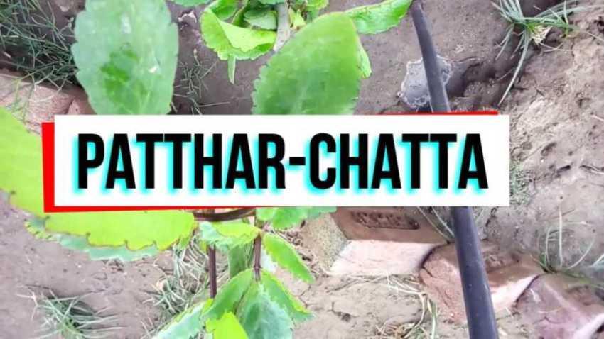 patharchatta ke fayde in hindi