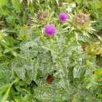 भटकटैया का फूल के फायदे हिंदी मे Bhatkatiya Phool Ke Fayde in Hindi