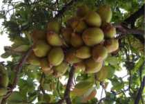 mahua tree benefits hindi me