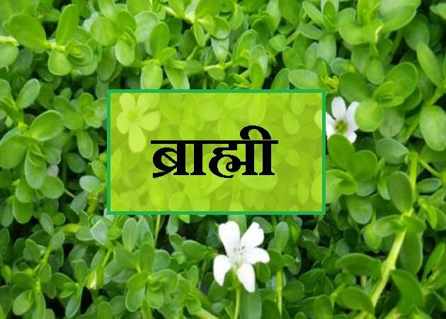 brahmi ke fayde ब्राह्मी के फायदे Benefits