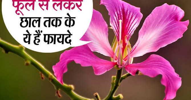 कचनार के फायदे हिंदी में