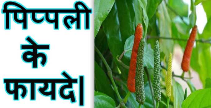 Pippli Ke Benefits In Hindi